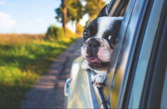 Auto Fenster Hund Bulldogge Feld Gras Straße